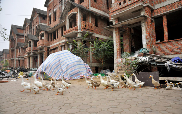 Ông Hùng cho biết, đàn vịt gần 20 con được ông nuôi gối nhau để đảm bảo bữa ăn trong gia đình lúc nào cũng có thức ăn sạch.