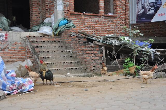 Một đàn gà cũng nuôi thả ở khu biệt thự này.
