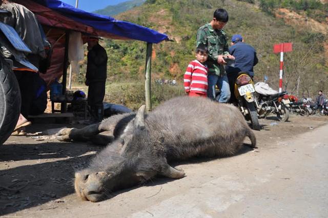 Cận cảnh một con nghé mới chết vì rét, nằm sõng soài bên quốc lộ 4D.