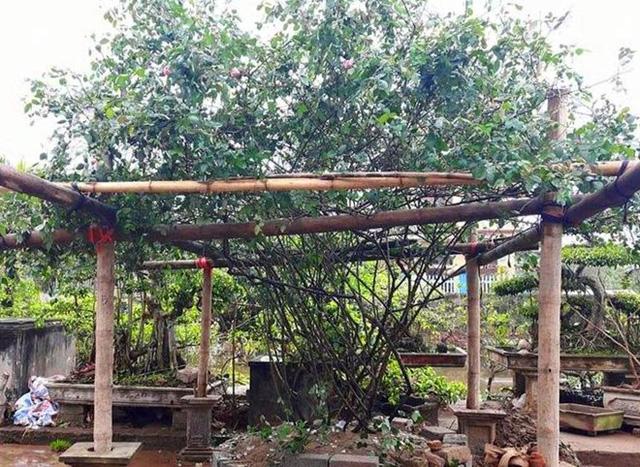 Những loại hồng này luôn là mặt hàng hot, được đại gia lùng mua về trồng trong biệt thự vườn nhà