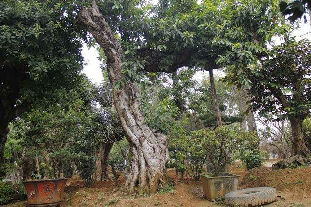 Nhiều đại gia bỏ ra vài tỷ đồng, thậm chí vài chục tỷ đồng để mua những cây bóng mát cổ thụ có dáng độc lạ về trồng trong vườn nhà