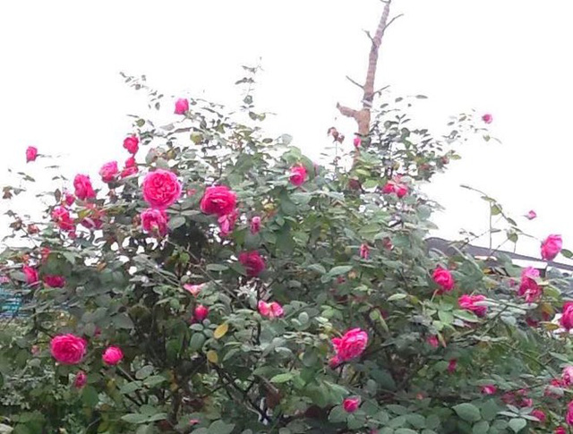 Hồng cổ này có hoa rất đẹp, đặc biệt, chúng cho hoa quanh năm và cực kỳ sai hoa