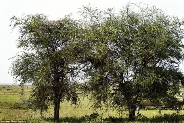 Có con báo đang trốn trên 1 trong 2 cái cây này. Không biết nos ở đâu.