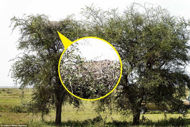 Hóa ra con báo nằm trên ngọn cây.