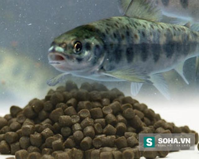 Thức ăn viên dành cho cá hồi nuôi
