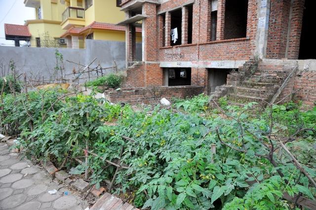 Một vườn rau được người dân chăm trồng xanh tốt trước khu biệt thự hoang.