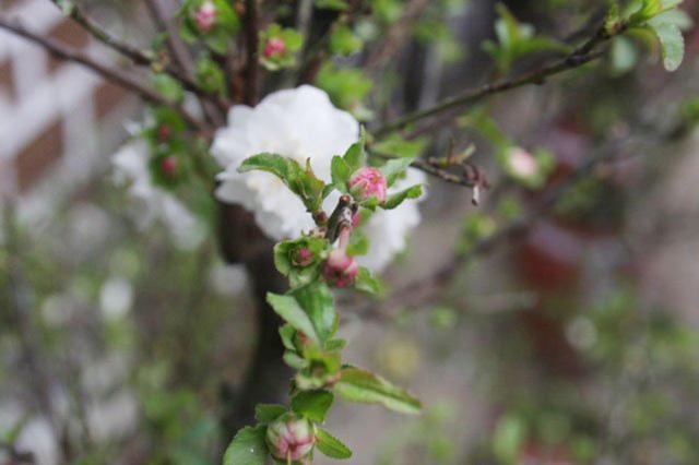 Nụ hoa màu hàn tiếu (đỏ cờ), bên ngoài có màu đỗ xanh, lớn lên phụ thuộc vào nhiệt độ, thời tiết từ trắng tinh, đỏ cờ, nếu rét thì chuyển màu tím hồng.