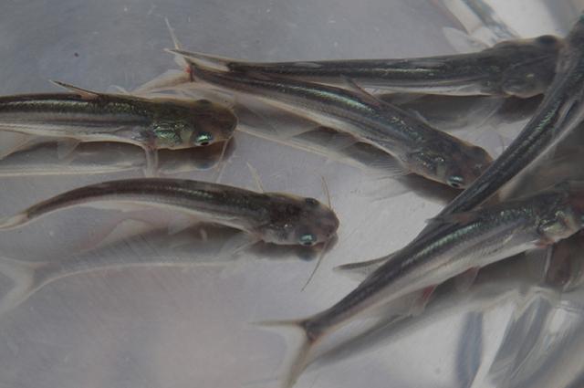 Nuôi dưỡng cá bột sau 2,5 tháng thì thành cá giống