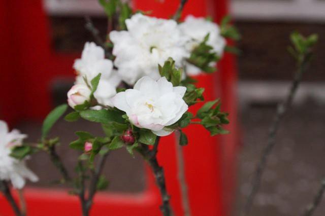 Bông hoa có hồn theo cung bậc thời gian khi nó dần chuyển sang màu tím hồng và dần trở về màu trắng suốt. Mỗi cánh hoa mai có câu chuyện riêng của nó mà chỉ có người chăm sóc mai, cùng ăn cùng ở mới hiểu được.