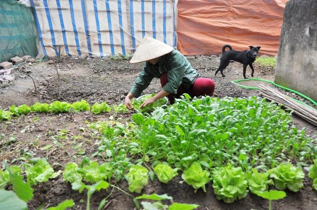 Cũng giống như gia đình ông Đệ, một vườn rau tươi tốt do chị Nguyễn Thị Hồng cải tạo từ khu đất bỏ hoang.