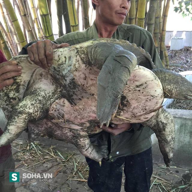 Một trong hai cá thể rùa mắc vào lưới của ông Khôi và đã bơi vào Hồ Gươm từ năm 2011. Ảnh do ông Khôi cung cấp.