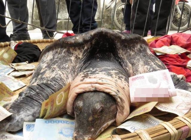 Cá thể nghi là rùa mai mềm được bắt ở Hải Phòng. Ảnh: PLTPHCM.