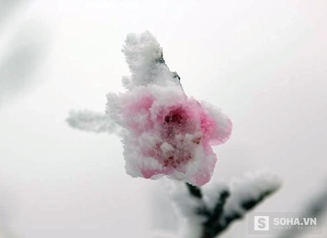 Những cánh hoa đào đóng băng trong tuyết. (Ảnh: Bằng Trần).