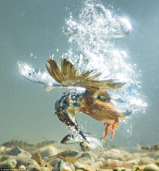 Chim bói cá luôn quan sát kỹ mặt hồ trước khi thò mỏ xuống nước bắt cá.