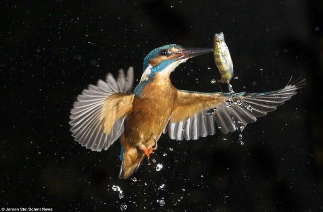 Chim bói cá cái thường có cái mỏ đen pha lẫn màu da cam bên dưới, khác với con đực