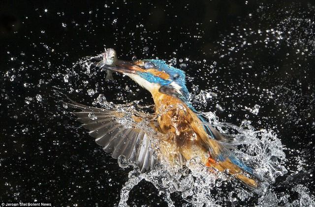 Chim bói cá cắp con cá trong miệng bay lên rất nhanh, đòi hỏi nhà nhiếp ảnh phải di chuyển nhanh và có camera chụp tốc độ cao 1/4.000 mới ghi hình được