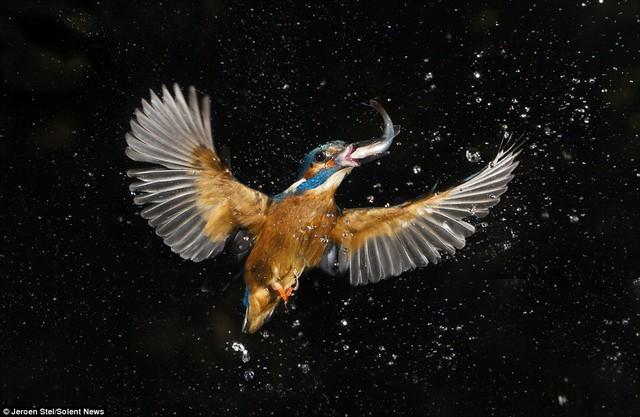Sau khi bắt được cá, chim cắp cá bay lên