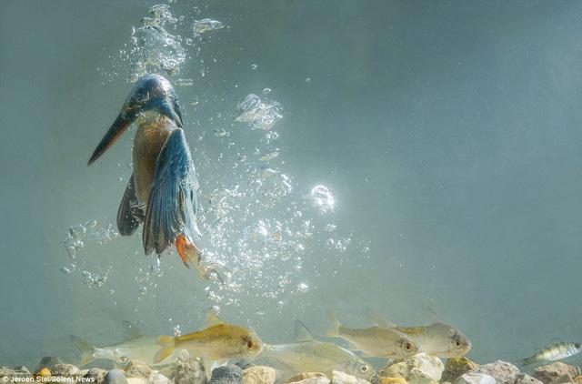 Chim bói cá lấy không khí bằng cánh. Trên cánh nó có lớp mỡ mỏng giúp chim bay lơ lửng
