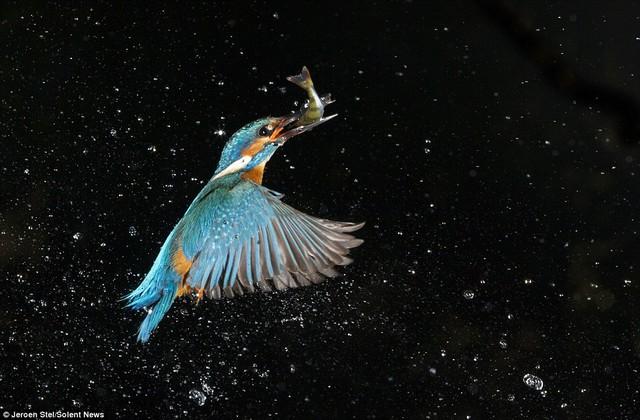 Chim bói cá đang được bảo tồn tại châu Âu. Chúng sống nhiều ở miền trung và nam nưóc Anh, nhưng ít thấy ở miền bắc nước Anh do số lượng chim đang giảm.