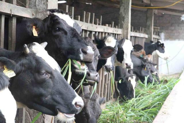 (Ảnh: Sữa bò trang trại Củ Chi).