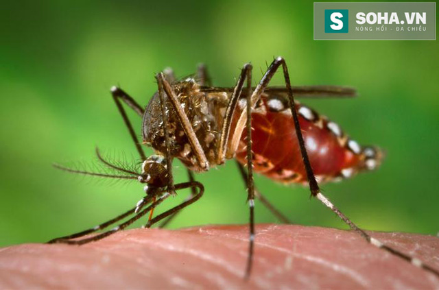 Muỗi vằn Aedes Aegypti vật chủ lây truyền virus Zika.