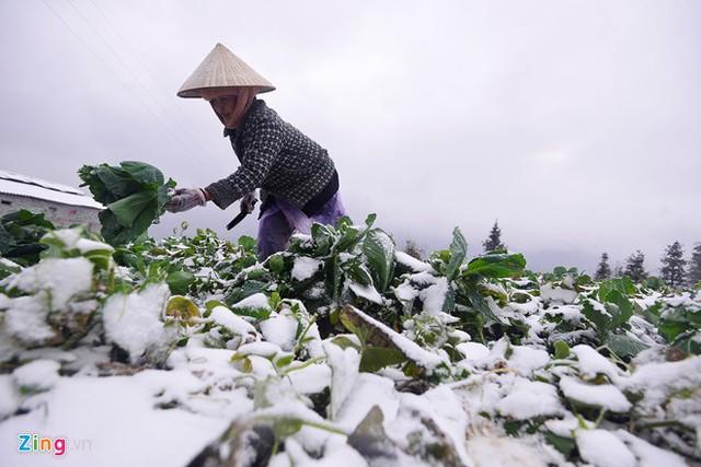 Nông dân xót ruột nhìn rau bị tuyết phủ kín. Ảnh: Zing.vn