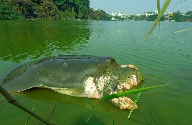 Hình ảnh rùa Hồ Gươm năm 2014. Ảnh: PGS Hà Đình Đức/Zing