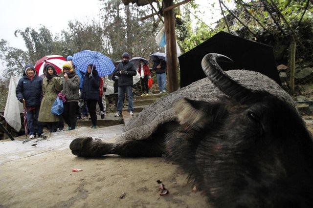 Một con trâu bị cước chân, sắp chết do lạnh giá bên hiên nhà một người Mông ở Lào Cai. Ảnh: Nam Trần/ Tuổi trẻ