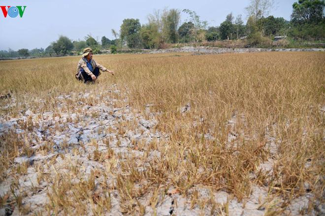 Anh Trần Quốc Ninh, thôn Tân An, xã Gia Chim, Kon Tum thẫn thờ bên ruộng lúa chết khô dù trước đó đã bỏ ra hơn 40 triệu đồng khoan giếng, đào ao mà vẫn không có nước. Ảnh: VOV
