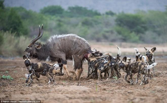 Nhiếp ảnh gia Hendri Venter chụp được cảnh tượng đàn chó hoang hợp sức hạ gục linh dương vằn Kudu trong công viên động vật hoang dã Zimanga ở KwaZulu-Natal, Nam Phi.