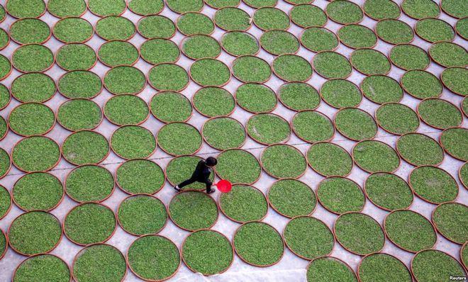 Người phụ nữ đi qua sân phơi lá trà xanh tại một công ty chế biển trà ở tỉnh Phúc Kiến, Trung Quốc.