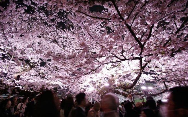 Mọi người chiêm ngưỡng hoa anh đào đẹp lung linh trong đêm ở thành phố Tokyo, Nhật Bản.