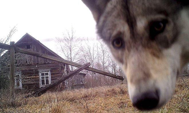 Chó sói nhìn vào ống kính camera tại khu cách ly có bán kính 30km quanh nhà máy điện hạt nhân Chernobyl ở Ukraine.