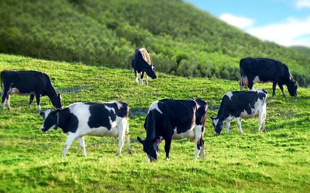 Khám phá bí mật tạo nên thiên đường bò sữa đích thực