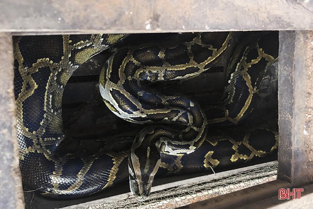 Người đàn ông bắt được con trăn gấm quý hiếm nặng 35 kg, dài 2,9 mét - Ảnh 3.