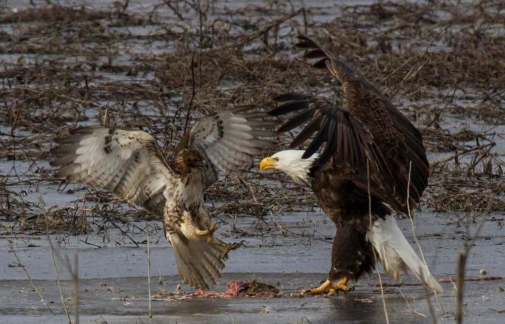 Cả gan lao vào ổ đại bàng đầu trắng để cướp trứng, ưng đuôi lửa bị giết chết trong chớp mắt - Ảnh 1.