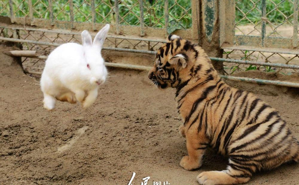 Sở thú thả thỏ vào chuồng cho hổ ăn: Hôm sau quay lại, cảnh tượng trước mắt khiến họ kinh ngạc
