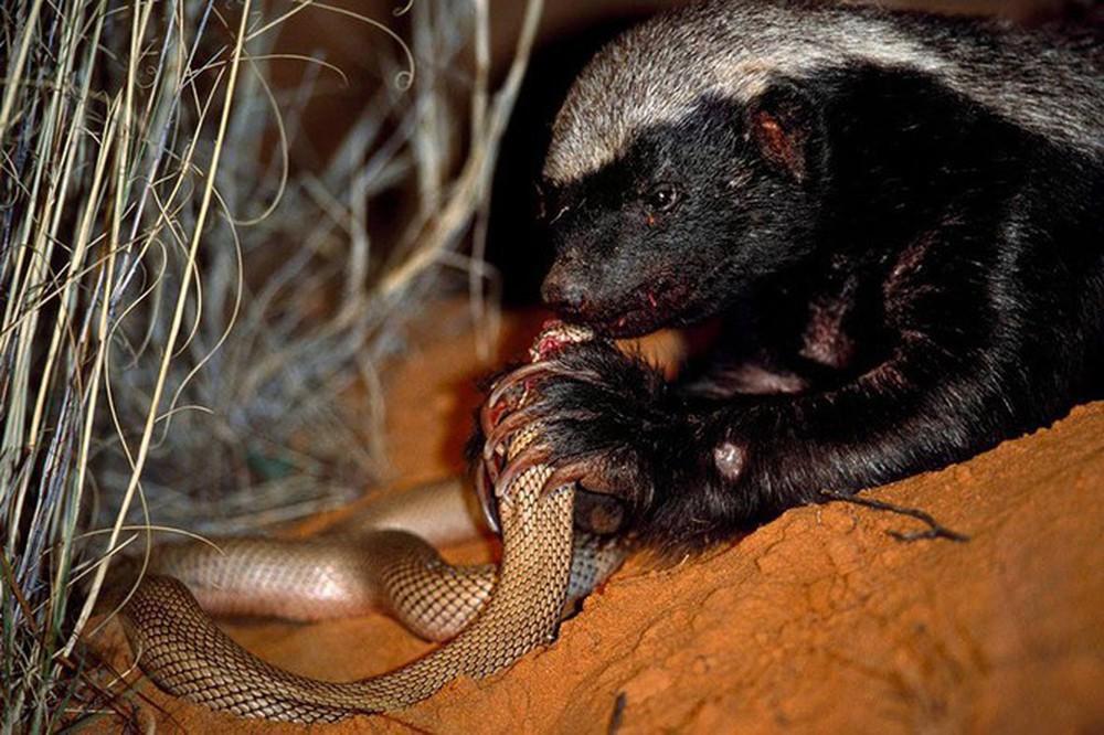 1001 thắc mắc: Những động vật nào là đối thủ khiến rắn hổ mang sợ chết khiếp? - Ảnh 3.