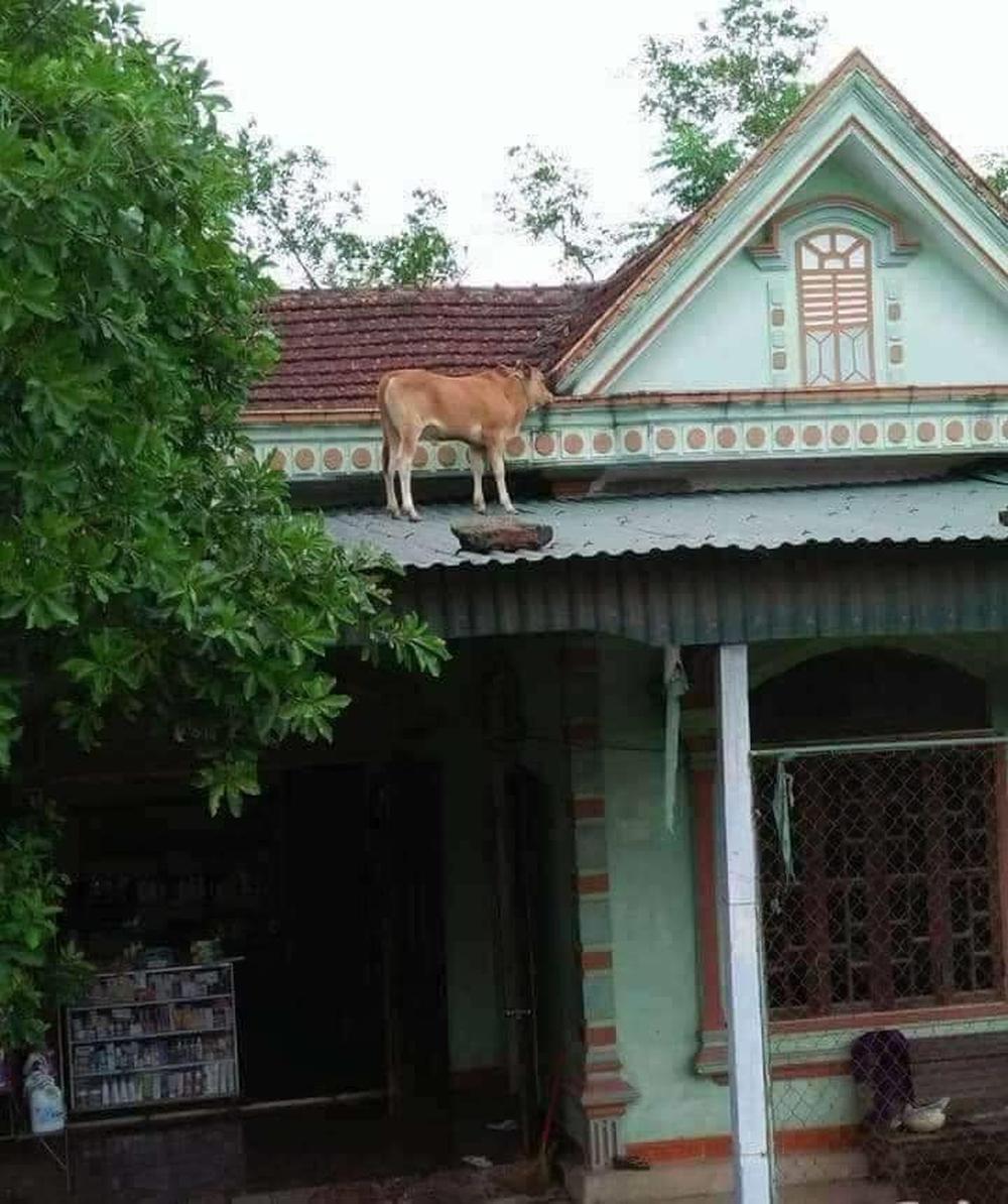 Chú bò lạc lên nóc nhà với khuôn mặt hoang mang khiến người ta phải cười nghiêng ngả đúng là ngơ ngơ như bò đội nón - Ảnh 1.