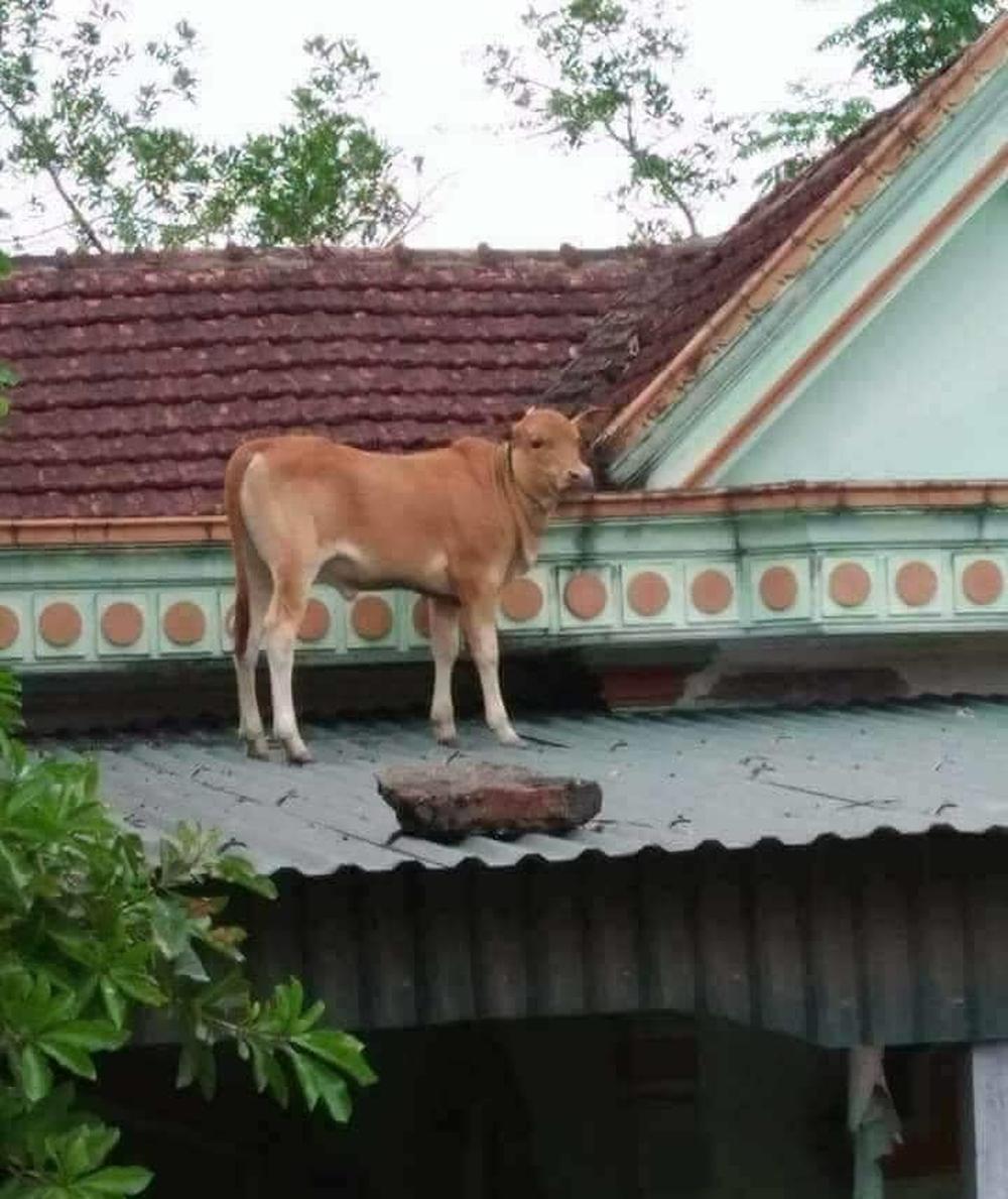 Chú bò lạc lên nóc nhà với khuôn mặt hoang mang khiến người ta phải cười nghiêng ngả đúng là ngơ ngơ như bò đội nón - Ảnh 2.