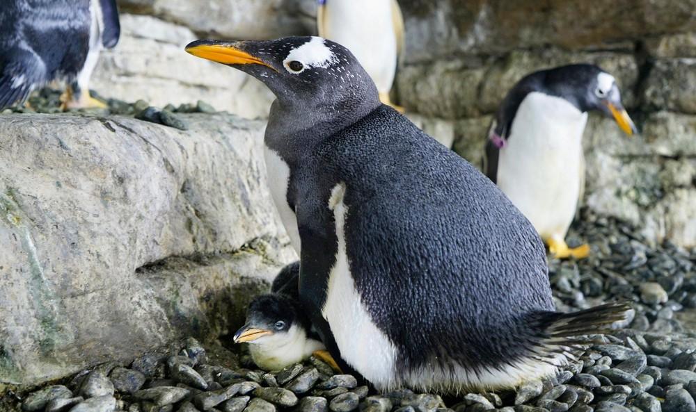 Hạnh phúc vỡ òa với cặp đôi chim cánh cụt đồng tính lần đầu được làm cha mẹ - Ảnh 5.