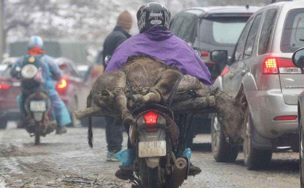 Băng và tuyết rơi làm hơn 300 trâu bò chết rét, người dân dùng xe máy chở về