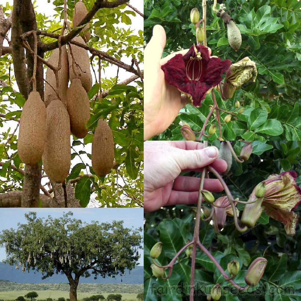 Kỳ lạ quả thiêng 10kg giống cây xúc xích, rơi có thể chết người - Ảnh 2.