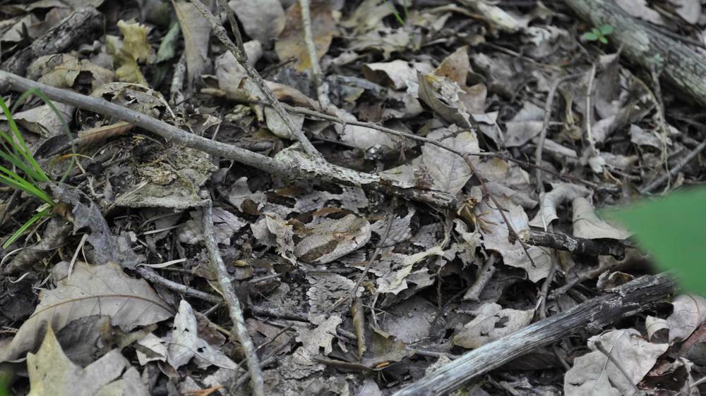 Nếu bạn định nhặt 1 cành cây khô, hãy cẩn thận kẻo mất mạng vì tử thần đang rình rập trong đám lá - Ảnh 1.