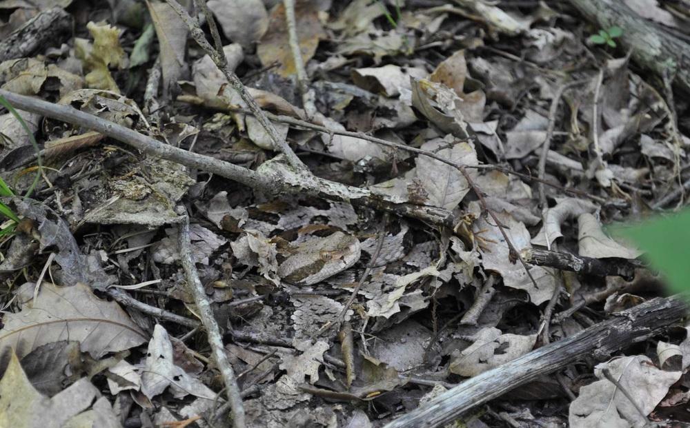 Nếu bạn định nhặt 1 cành cây khô, hãy cẩn thận kẻo mất mạng vì 'tử thần' đang rình rập trong đám lá