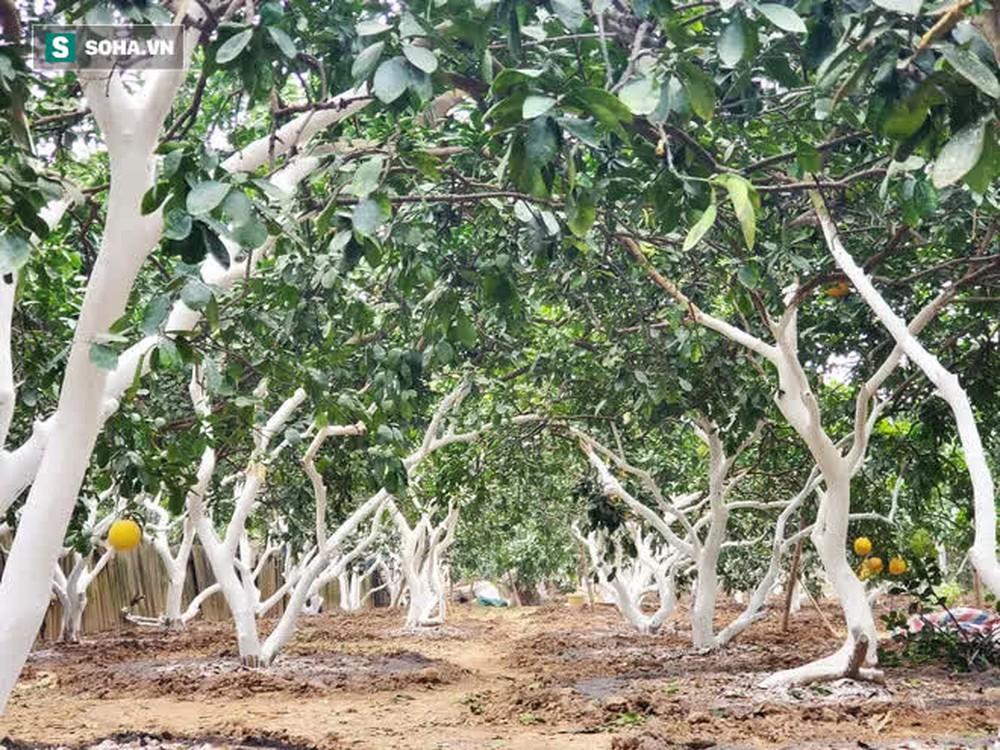 Trồng loại quả chín vàng, để càng héo càng thơm ngon, nông dân Hà Nội thu nửa tỷ vụ Tết - Ảnh 12.