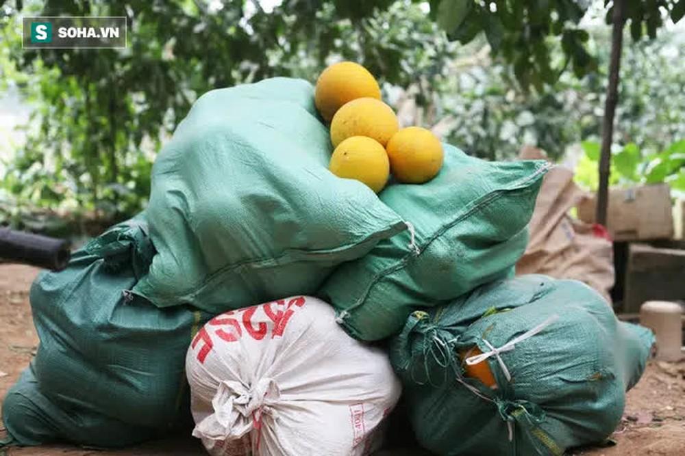 Trồng loại quả chín vàng, để càng héo càng thơm ngon, nông dân Hà Nội thu nửa tỷ vụ Tết - Ảnh 7.