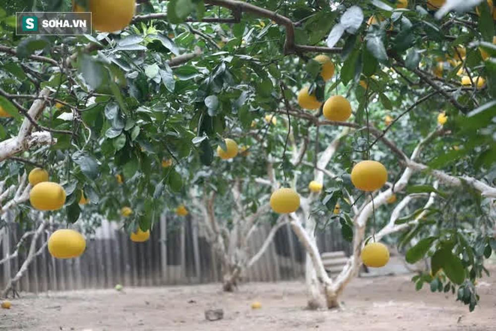 Trồng loại quả chín vàng, để càng héo càng thơm ngon, nông dân Hà Nội thu nửa tỷ vụ Tết - Ảnh 9.