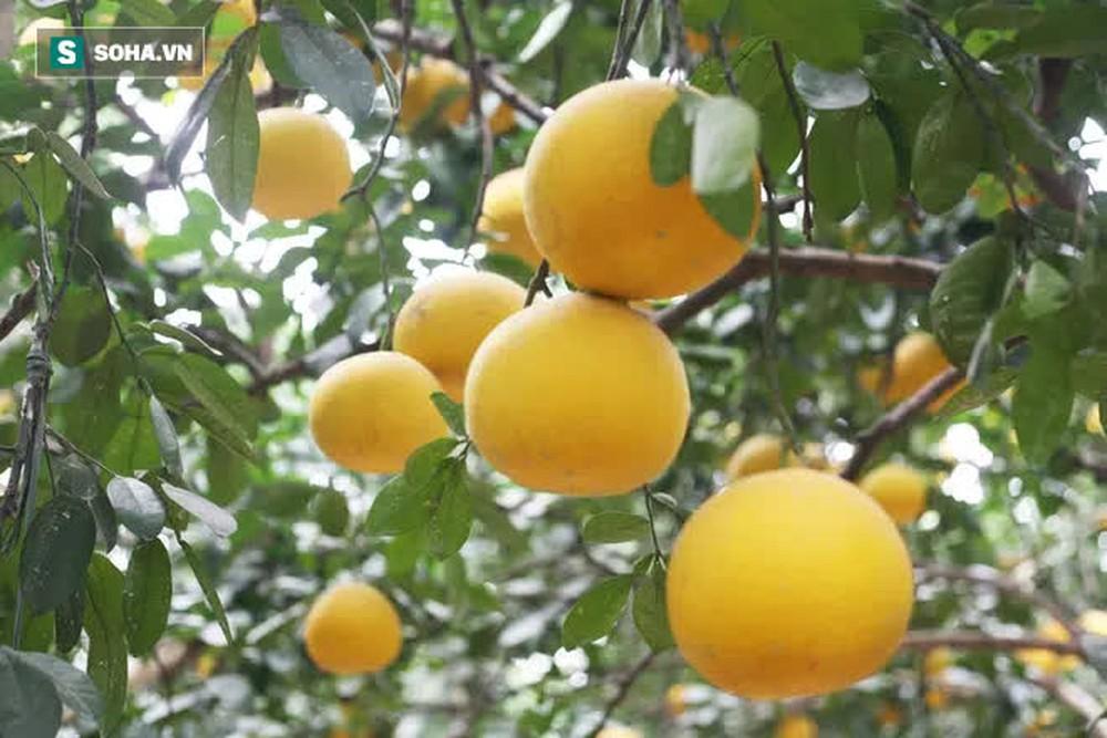 Trồng loại quả chín vàng, để càng héo càng thơm ngon, nông dân Hà Nội thu nửa tỷ vụ Tết - Ảnh 11.