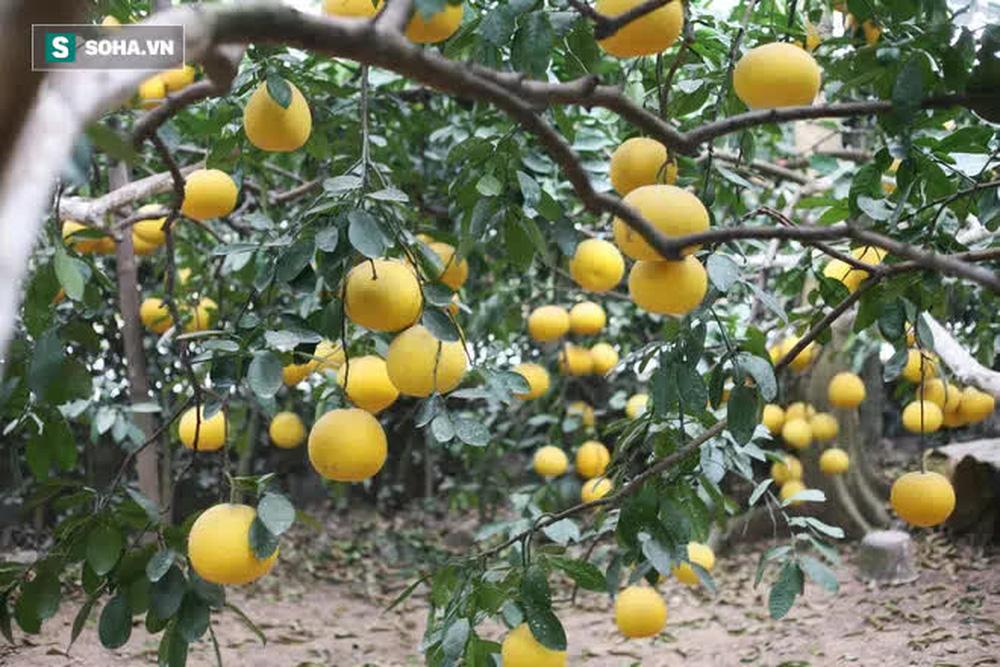 Trồng loại quả chín vàng, để càng héo càng thơm ngon, nông dân Hà Nội thu nửa tỷ vụ Tết - Ảnh 10.